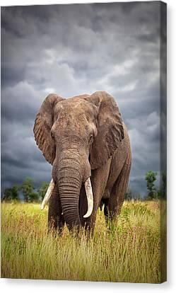 Elephants Canvas Print - The Big Bull by Mario Moreno