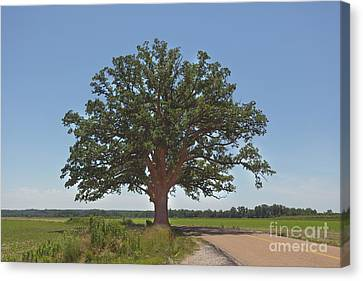 The Big Tree Canvas Print