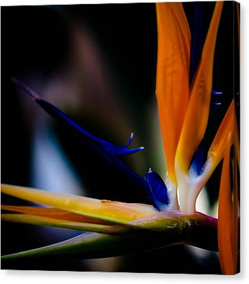 The Bird Of Paradise Canvas Print by David Patterson