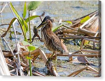 Canvas Print featuring the photograph Green Heron And Frog by Phil Stone