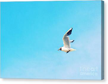 The Black Headed Gull Canvas Print by Angela Doelling AD DESIGN Photo and PhotoArt
