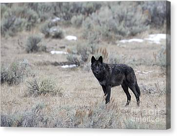 The Black Wolf Canvas Print