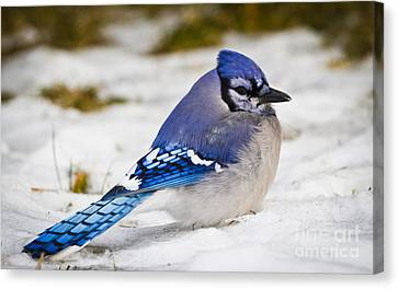The Bluejay Canvas Print