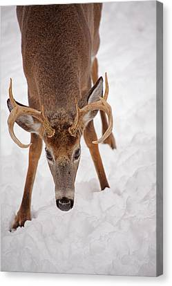The Buck Stare Canvas Print by Karol Livote