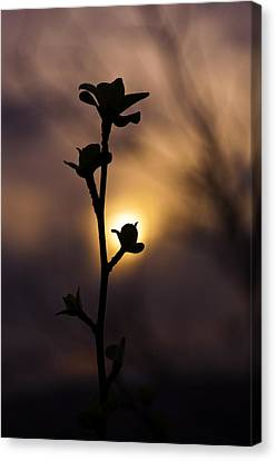 The Budding Branch Canvas Print