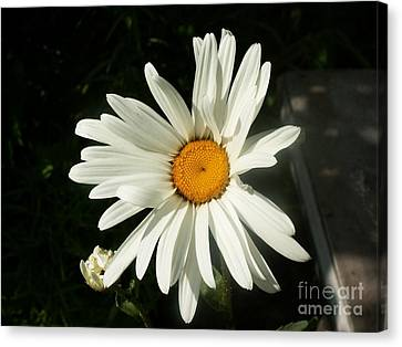 The Camomile Canvas Print by Evgeny Pisarev