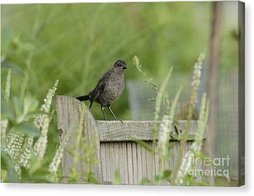 The Catbirds Seat Canvas Print by Randy Bodkins