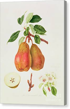 The Chaumontelle Pear Canvas Print by William Hooker