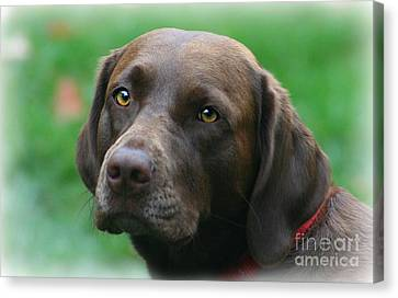 The Chocolate Lab Canvas Print by Barbara S Nickerson
