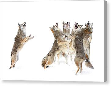 Parc Canvas Print - The Choir - Coyotes by Jim Cumming