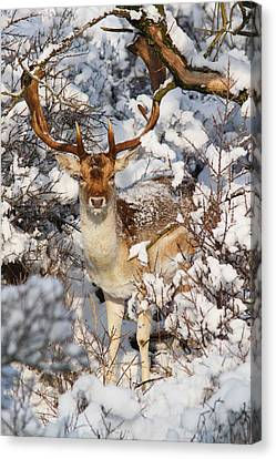 The Christmas Deer - Fallow Deer In The Snow Canvas Print by Roeselien Raimond
