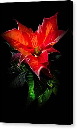 The Christmas Flower - Poinsettia Canvas Print by Gynt