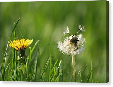 A Weed Or A Wish Dandelion Canvas Print by Valerie Collins