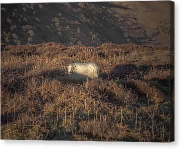 The Cloud Sheep Canvas Print by Chris Fletcher