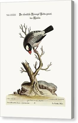 The Cock Padda Or Rice-bird Canvas Print by Splendid Art Prints