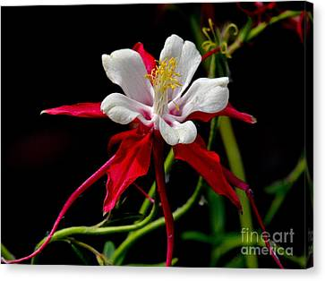 The Columbine Canvas Print by Eve Spring