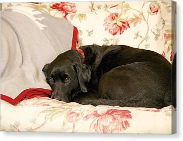 Canvas Print featuring the photograph I Don't Want To Get Off This Sofa by Colleen Williams