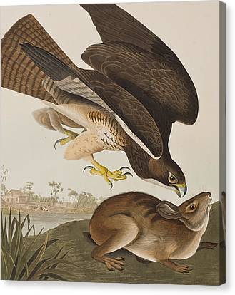 Buzzard Canvas Print - The Common Buzzard by John James Audubon