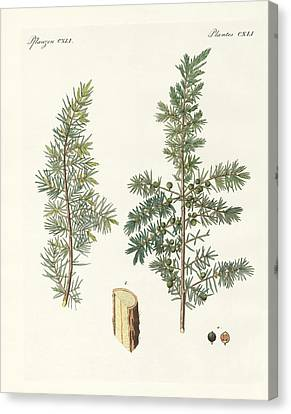 The Common Juniper Canvas Print