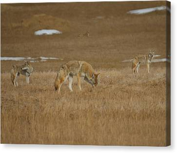 The Coyotes Painterly Canvas Print by Ernie Echols