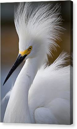 The Crest Of A Snowy Egret Canvas Print