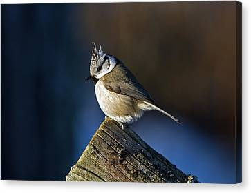 The Crested Tit In The Sun Canvas Print