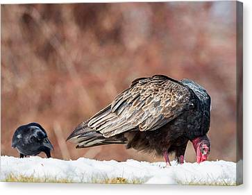 Crows Canvas Print - The Crow And Vulture by Bill Wakeley