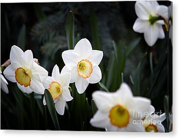 The Daffodil Bloom Canvas Print by Thanh Tran