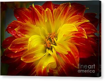 The Dahlia's Drama Canvas Print