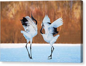 Crane Canvas Print - The Dance Of Love by C. Mei