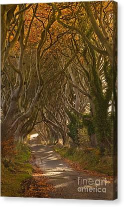 The Dark Hedges In Autumn Canvas Print by Derek Smyth