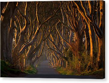 The Dark Hedges In The Morning Sunshine Canvas Print by Piotr Galus