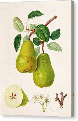 Pear Canvas Print - The D'auch Pear by William Hooker