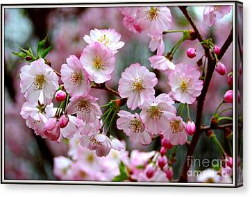 The Delicate Cherry Blossoms Canvas Print by Patti Whitten