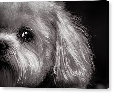 Maltese Canvas Print - The Dog Next Door by Bob Orsillo