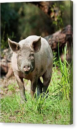 The Domestic Pigs Of Maliuc Often Roam Canvas Print by Martin Zwick