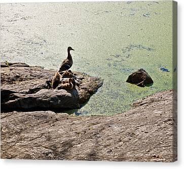 The Duck Family Canvas Print