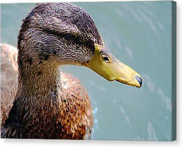 The Duck Canvas Print by Milena Ilieva