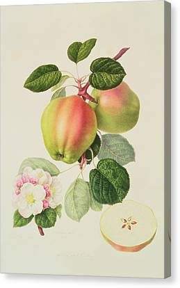 Apple Canvas Print - The Dutch Codlin by William Hooker