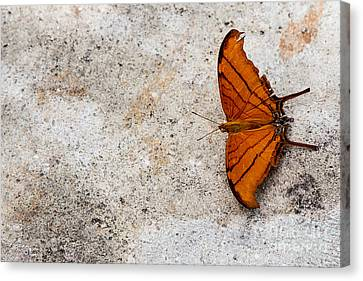 The Elusive Butterfly  Canvas Print by Rene Triay Photography