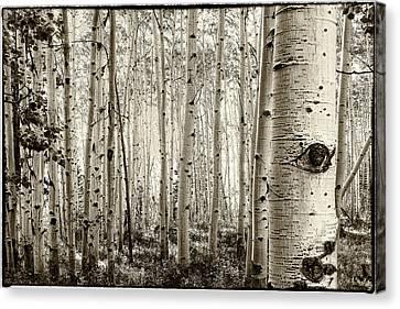 The Eye Of The Aspen Canvas Print by John McArthur