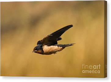 Barn Swallow Canvas Print - First Swallow Of Spring by Robert Frederick