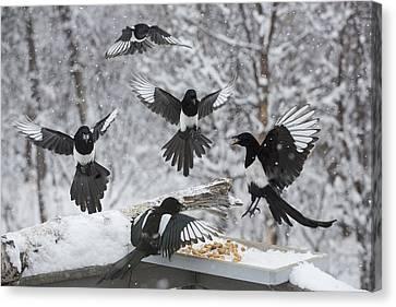 Black-billed Magpie Canvas Print - The Feeding Frenzy by Tim Grams