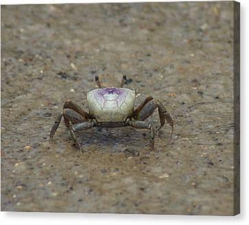 The Fiddler Crab On Hilton Head Island Canvas Print