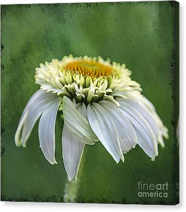 The First Coneflower Canvas Print