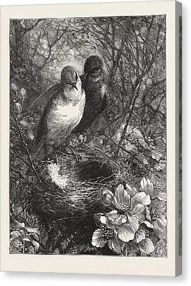 The First Nest, Engraving 1876, Bird, Birds Canvas Print by English School