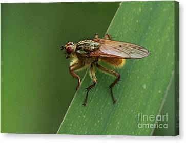 The Fly ? Canvas Print by Peter Skelton