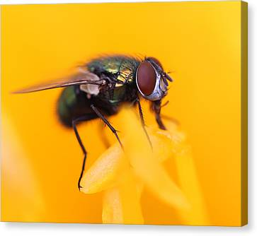 The Fly Canvas Print by Bruce  Morrell