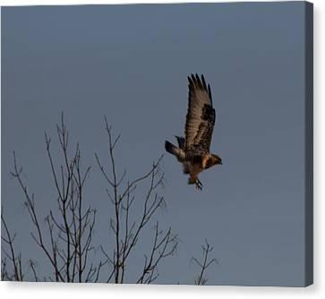 The Flying Hawk Canvas Print by Rhonda Humphreys