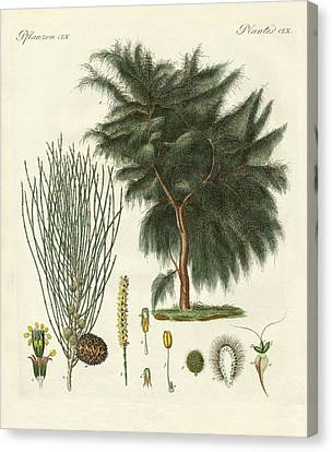 The Four-flapped Casuarina Canvas Print
